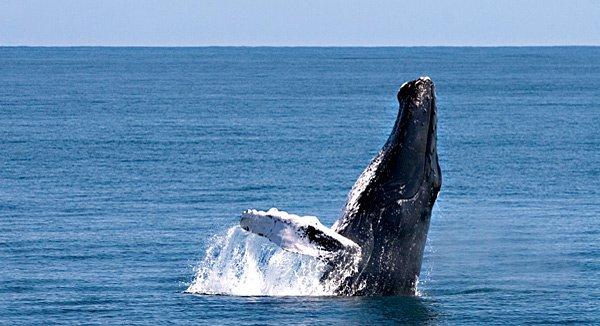 Whale Watching: In der Bucht von Samaná kann man Naturschauspiele aus der ersten Reihe bewundern.
