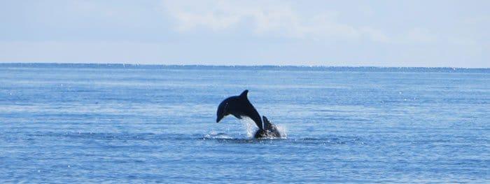 Delfin in Samana