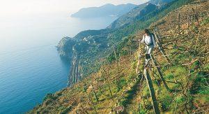 Wanderer genießen auf den alten Pfaden durch Ligurien eine kontrastreiche Landschaft mit Weinterrassen und Olivenhainen