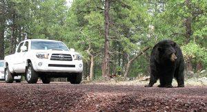 Im Bearizona Wildpark treffen Besucher auf Schwarzbären, die aus sicherer Entfernung beobachtet werden können