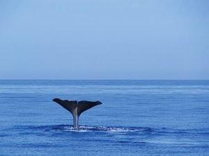 """""""Baleia! Baleia!"""" – Touristen zücken ihre Fotoapparate oder Ferngläser, um die riesigen Meeressäugetiere zu sehen"""
