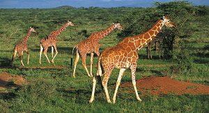Kenia`s Tierwelt