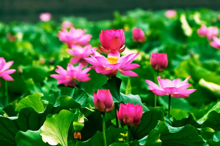 Lotusblüte Hangzhou