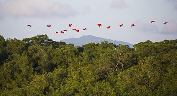 Sumpfgebiet und Vogelreservat Caroni Swamp: Die Mangroven-Sumpflandschaft ist die Heimat von etwa 180 Vogelarten