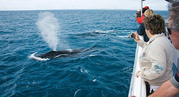 Queensland Wale