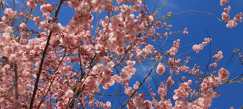 Mallorca: die Mandelblüte verzaubert die Landschaft im Frühjahr