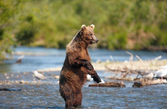 Braunbären sind ein Erlebnis