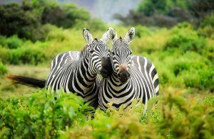 Kenia - eine gelungene Urlaubskombination aus entspannendem Badeurlaub und erlebnisreicher Safari