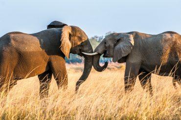 Elefanten in freier Wildbahn sind ein Erlebnis.