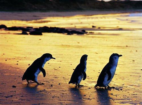 Phillip Island - Pinguine
