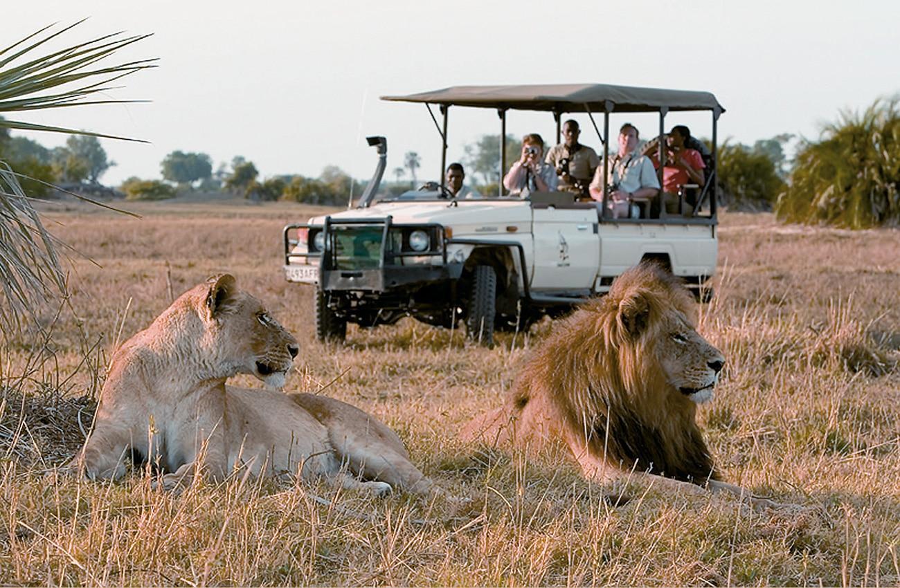 Entspannte Löwen werden von Safari Besuchern beobachtet