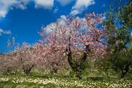 Dem Zauber der blühenden Mandelbäume kann sich niemand entziehen.