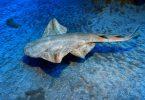 Tauchparadies Lanzarote - Engelhai