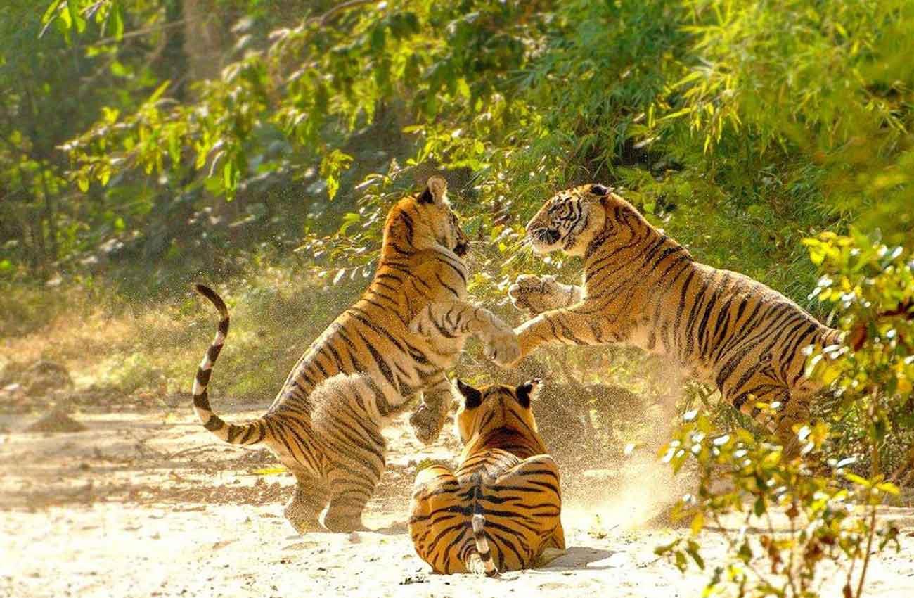 Bengalischer Tiger